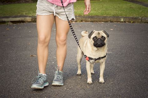 how to your pug pug 101 how to teach your pug to walk on a lead part 1 the pug diary