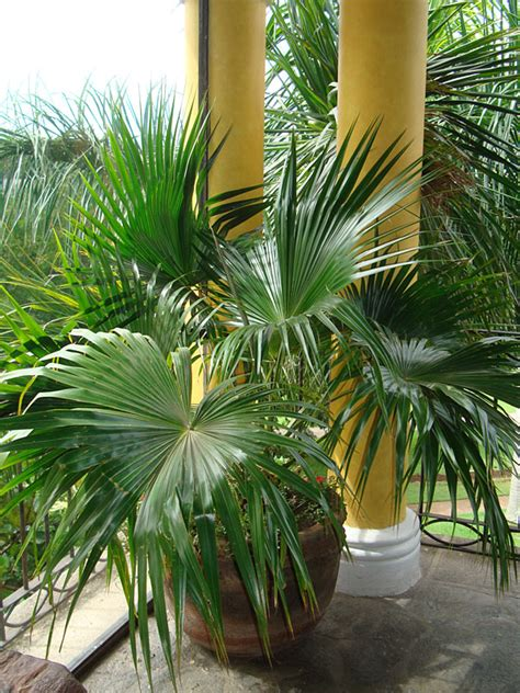 chinese fan palm tree livistona chinensis urban tropicals