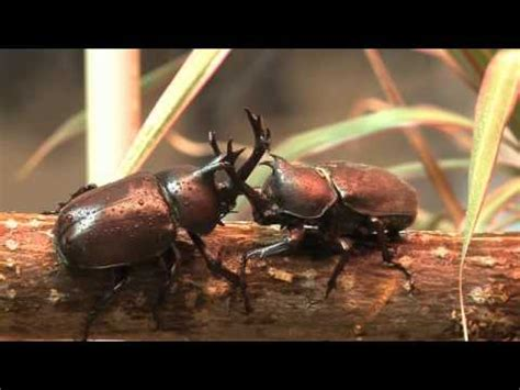 japanese fighting japanese rhino beetles fighting