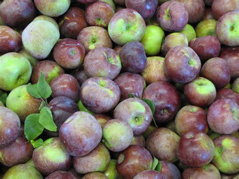 apple england new england apple varieties new england apples