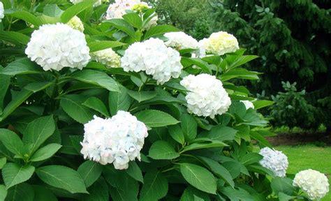 wann schneidet hortensien zurã ck hortensien schneiden wann hortensien bauernhortensien