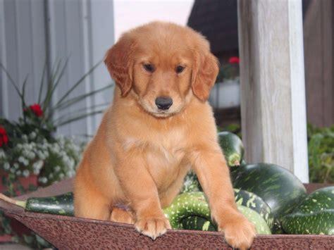 golden retriever breeders hawaii boxer blvd golden retriever puppies for sale