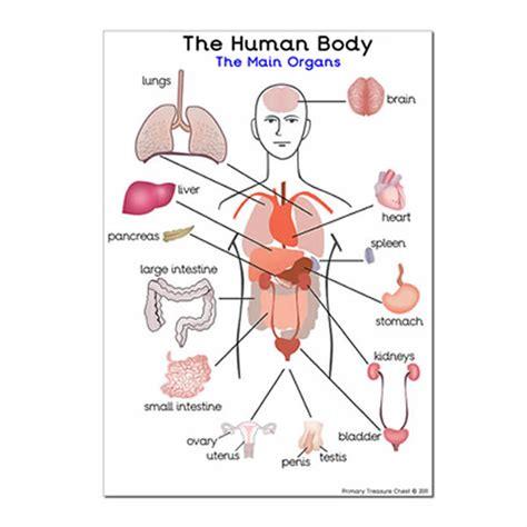 organ locations diagram image gallery major organs