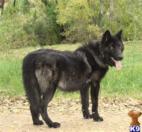 black wolf puppies for sale wolf puppy posted by azwolfdogs