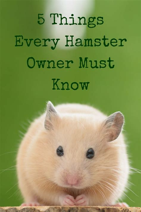 stay in the magic hamster best 25 hamsters ideas on hamsters