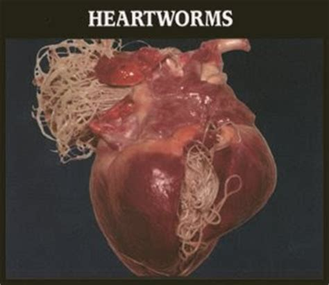 can puppies get heartworms pets and animal article health problem common
