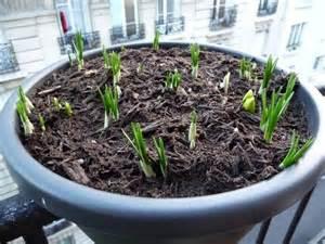 bulbi di giacinto in vaso bulbo di giacinto bulbi caratteristiche bulbo di