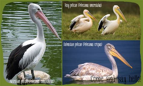 pelican themes gallery pelicans pafos zoo