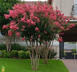 Small Black Vase Tuscarora Crape Myrtle Tree For Sale Bright Pink The