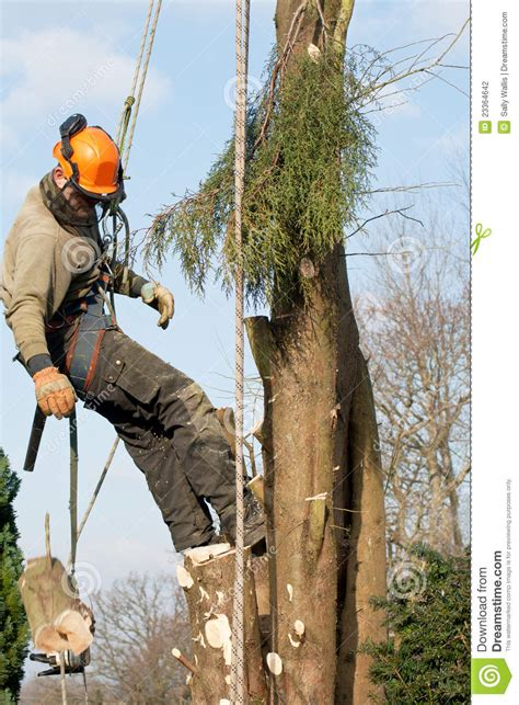 felling a tree in sections man lowering a section of tree stock photography image