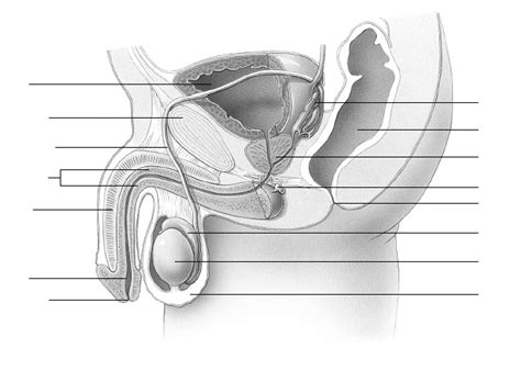 reproductive system and diagram reproductive system diagram blank models picture