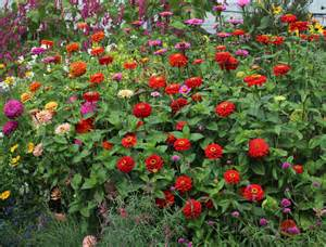 Flowering Perennials For Full Sun - zinnia elegans giant violet queen buy online at annie