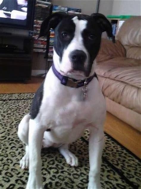 colorado puppy colorado bulldog breed information and pictures