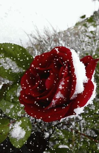 imagenes de flores gif gifs animados rosas de color rojo 1000 gifs los