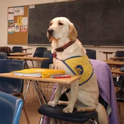 schools for service dogs 84 best canine companions for independence images on service dogs working
