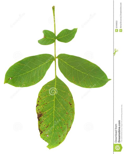 White Spots On Plants Disease - leaf of walnut tree attacked by mite stock photography image 32499922