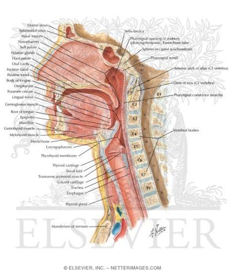 median section pharynx median section