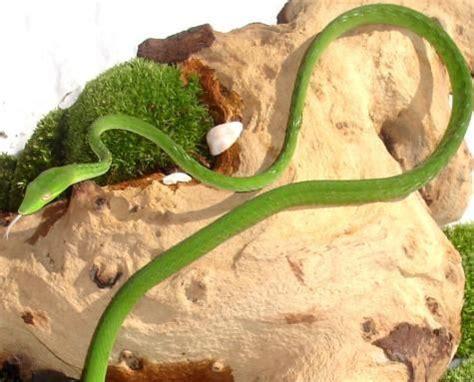 asian green vine snakes  sale vine snake vines