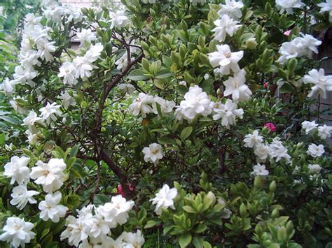 gardenia flowers gardenia flower pictures white gardenia flowers
