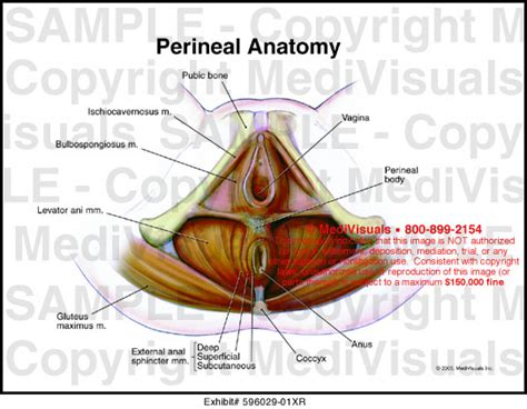 diagram of perineum medivisuals perineal anatomy illustration