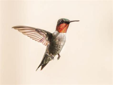 wild birds unlimited ruby throated hummingbird male