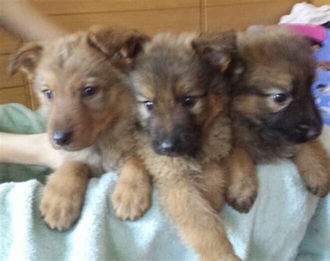 czechoslovakian wolfdog puppies for sale german shepherd x wolf for sale sheffield south pets4homes