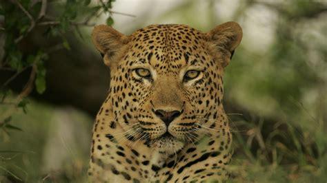 found pug leopard pug marks found in zoo of mysore