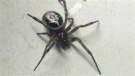 Garden Spider Vs False Widow False Widow Spiders Are Not Aggressive Towards Humans