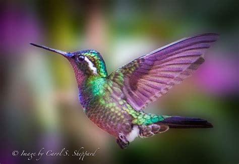 colorful hummingbirds colorful hummingbirds search birds bugs