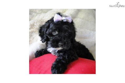 black maltipoo puppies pin black maltipoo puppies image search results on