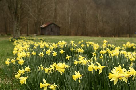 what is spring file barn wildflowers spring daffodil west virginia