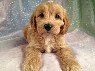cockapoo puppies illinois best 25 cockapoo puppies for sale ideas on cockapoo for sale cockapoo