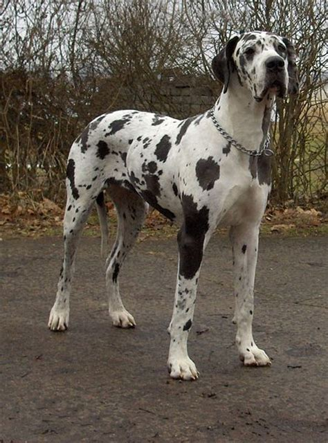 state dogs pennsylvania state great dane