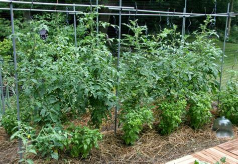 Tomaten Im Garten by Tomaten Im Garten Tomaten Im Garten G