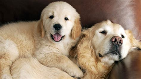 features of golden retriever golden retriever facts will make you smile aol features