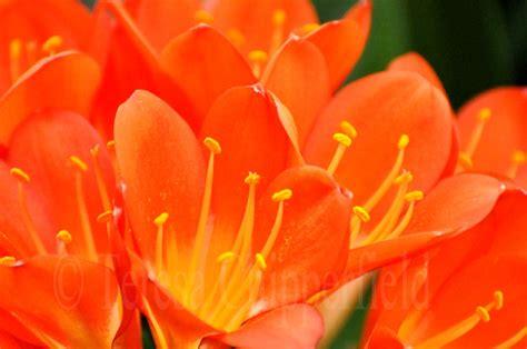 Orange Flowery pictures of orange flowers beautiful flowers