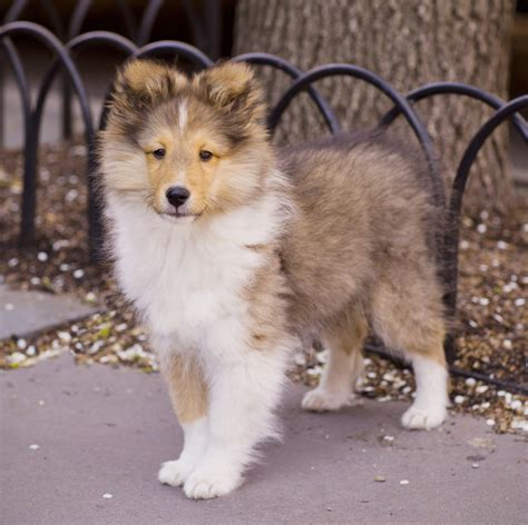 collie puppy pictures collie dogs photograph collie dogs breed puppy p