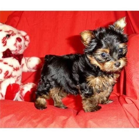 yorkie puppies for sale in ky yorkie teacup rescue kentucky breeds picture