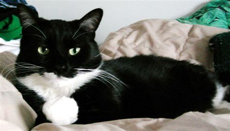 mixed breed tuxedo cat picture 2079 pet gallery petpeoplesplace com