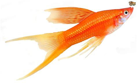Fish For 3 great choices of pet fish for children pets4homes