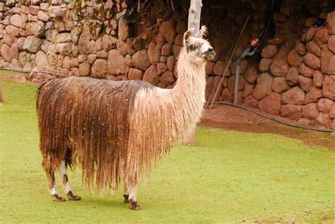 imagenes de animales llamas 191 llamas alpacas vicu 241 as o guanacos viajes per 250 el