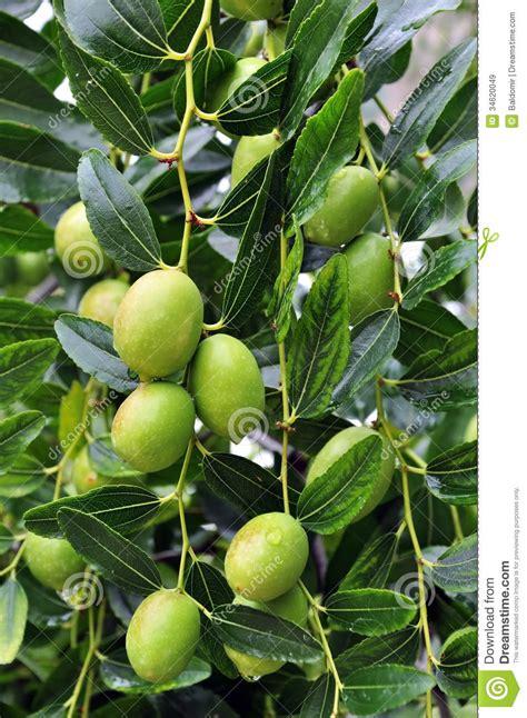 When Do Olive Trees Produce Fruit - olive fruit royalty free stock images image 34620049