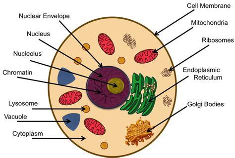 thgradeanimalcellparts cells science pinterest