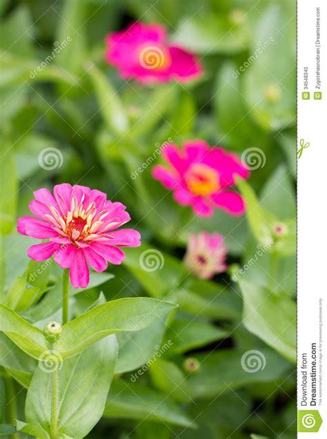 flores cor de rosa do zinnia foto de stock imagem 34548340