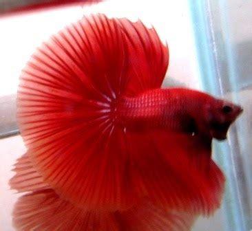 Ikan Cupang 27 arseniastar jual ikan cupang betta halfmoon koleksi