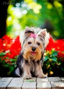 how much does a yorkie puppy cost how much does a yorkie puppy cost terrier price ranges yorkie
