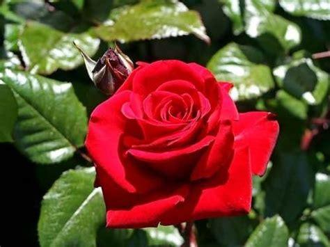 imagenes de rosas sombreadas 10 sementes rosa vermelha flores red planta ex 243 tica r 9