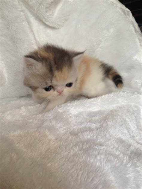 kittens for sale cats kittens for sale ads free classifieds