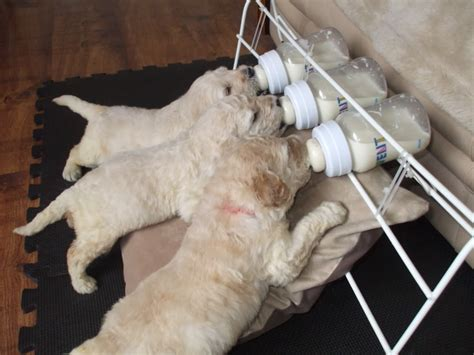 what do you feed a puppy uk labradoodle association view topic new puppy feeding invention what do you