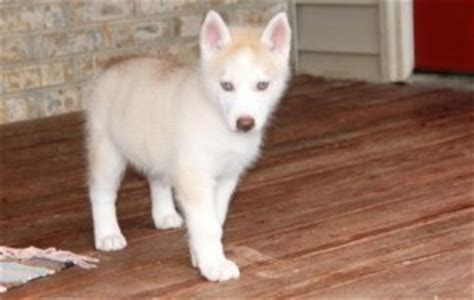 puppies for sale kalamazoo pets kalamazoo mi free classified ads